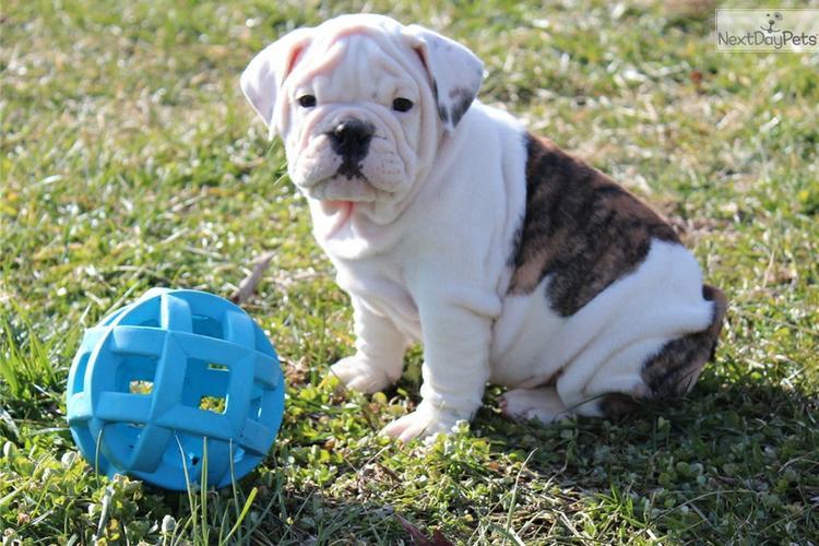 * *# # Quality Englishh Bulldoggss Puppies:....** 443 377-3615