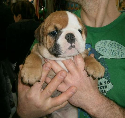 Titanic French bulldog puppies for sale
