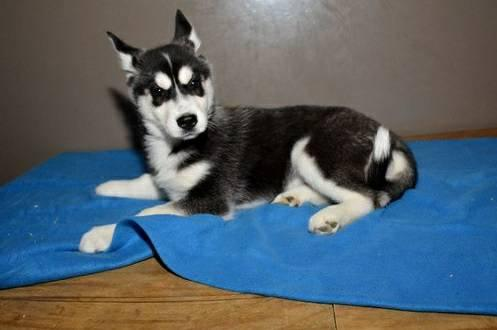 Charming Blue Eyed siberians huskys Puppies!!!(307) 223-9590