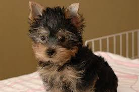 ?Y.o.R.k.i.e P.upp.i.e.s For F.r.e.e, (901 504 5637/Ready Now 12 Weeks Old