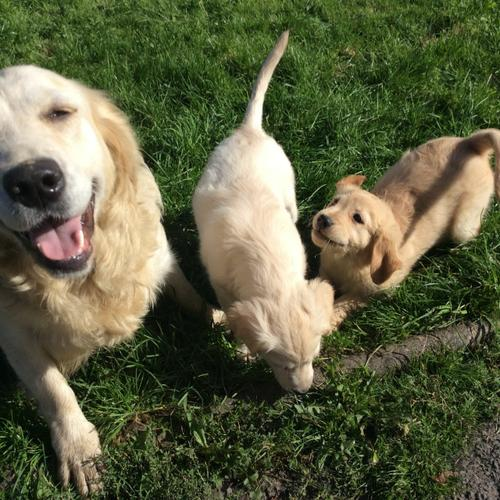 L..o.v.e.l.y Golden Re.t..ri.e.v.e.r puppies Puppies For Sale