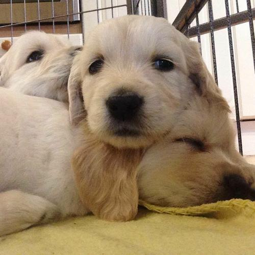 @L....ovely@ Golden@@ Retriever puppies@ Puppies For Sale@