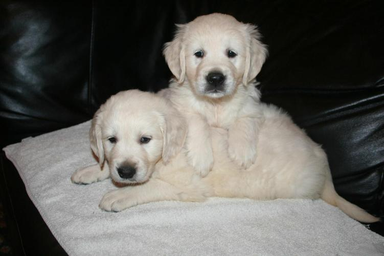 Lovely Golden Retriever puppies Puppies For Sale