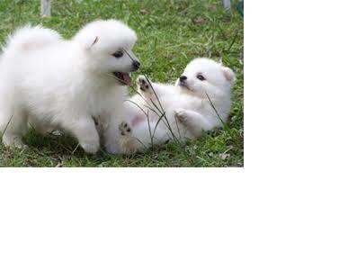 Two Gorgeous J.a.p.a.n.e.s.e   s.p.i.t.z  Puppies Available.