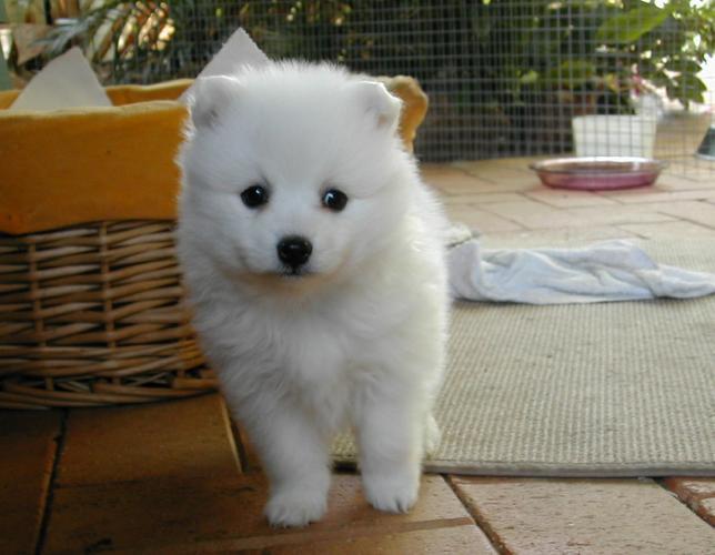 .Two Gorgeous J.a.p.a.n.e.s.e   s.p.i.t.z  Puppies Available.,