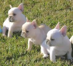 frenchie pups**for rehoming (909) 686-0427