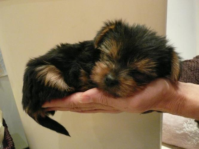 A.d.opt a F.e.mal.e Y.o.rks.hire Te.rrier Puppy !!!(240) 696-8290