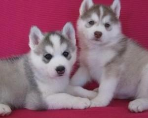 ???Free Blue Eyes G.orgeous Pu.ppies Not For Sell Free) Need Home???(404) 947-4269