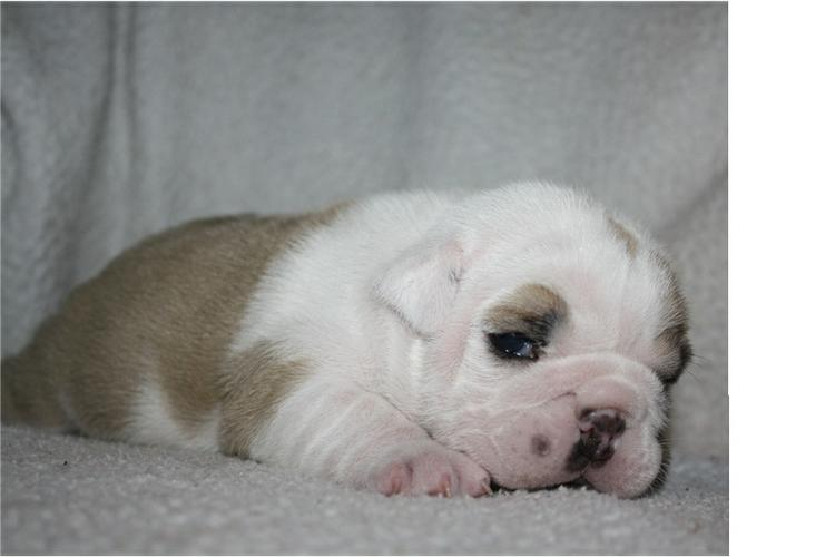 FREE/FREE Affectionate FREE/FREE M/F English B.u.l.l.d.o.g Puppies!!! contact us at (410) 424 6120
