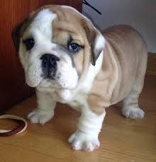 Affectionate M/F English B.u.l.l.d.o.g Puppies!!!717 282 1459