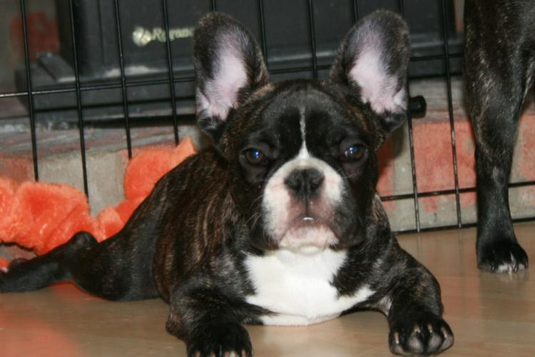 Authentic French Bulldog Puppies!!