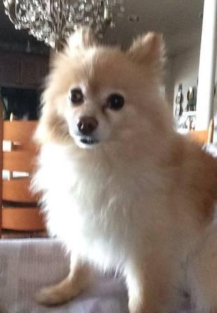 Meet Obamo, my 2year old Pomeranian