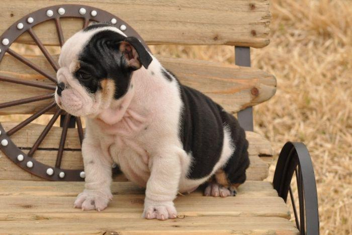 * # #  Quality Englishh Bulldoggss Puppies:....**