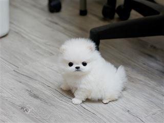CUTE Pomeranian Puppies!!!(612) 444-4699