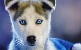 Magnificent Blue Eyess Siberians huskys Puppies:contact us at(323)510-6812!!!