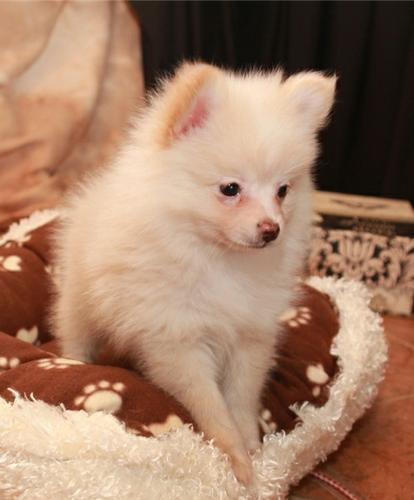 Male and Female Pomeranianss Puppies Available To Loving Homes.These sweet girl and boy has been bor