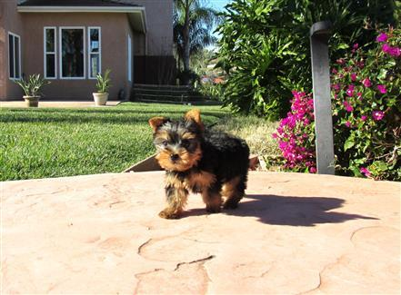 Beautiful female Yorkie puppies for Rehoming! Incredibly Sweet!!