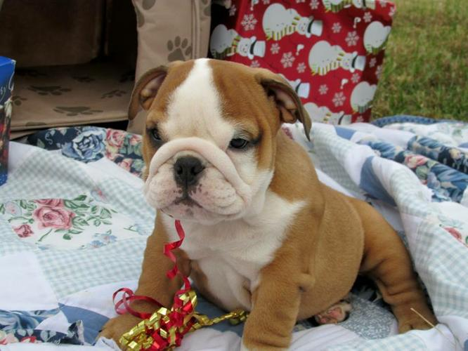 Quality English Bulldogs Puppies:.... (317) 643 0215