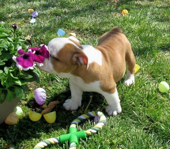 Two Gorgeous English B.u.l.l.d.o.g Puppies Available.(317) 643 0215