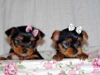# # ??? Quality Teacup Yorkies Puppies:....???**