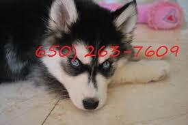 Blue Eyes male and female Siberi.a.n hus.k.y Pu.ppies ) Need Hom (650) 263-7609