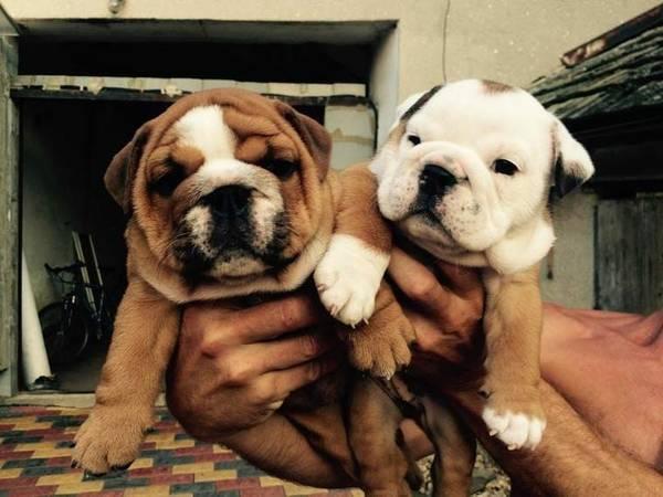 Healthy M/F English B.u.l.l.d.o.g Puppies!!contact us at(301)3752346