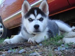 Urgent!Precious Huskies Pups(562) 250-4224**>