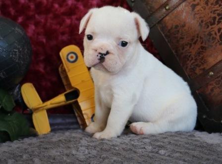 Affectionate M/F French B.u.l.l.d.o.g Puppies!!!410 260-0545