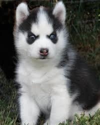 Magnificent Blue Eyess Siberians huskys Puppies:contact us at(323)510-6812>>
