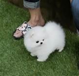 Cute P.o.m.e.r.a.n.i.a.n puppies!!!sms (484) 258-3183