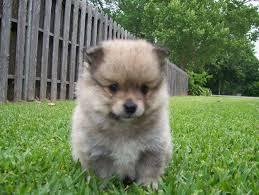 POMERNAIAN PUPPY FOR NEW HOME 470) 315-0784
