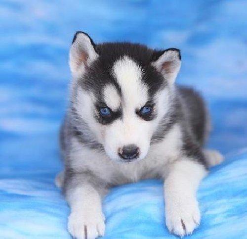Cute S.i.b.e.r.i.a.n H.u.s.k.y puppies!!!sms  404-947-3677