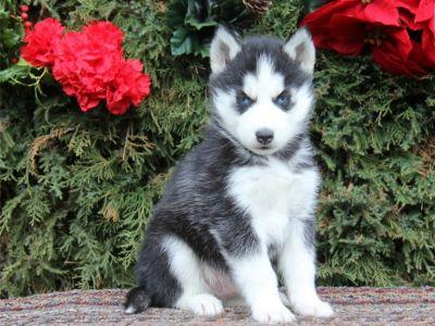 quality healthy well trained registered puppies