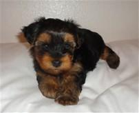 # # !!! Quality Teacup Yorkies Puppies:....contact us at (540)300-3489,/