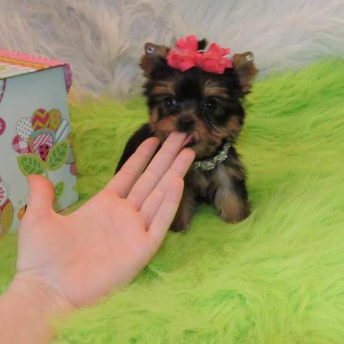 *Top Quality Y.o.r.k.i.e puppies(763) 307-2771