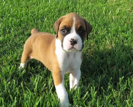 sweet boxer puppies available for good homes..