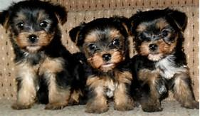 # # !!! Quality Teacup Yorkies Puppies:....contact us at (540)300-3489/;