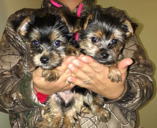 *Top Quality Y.o.r.k.i.e puppies(763) 307-2771