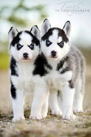 Quality siberians huskys Puppies:contact us at