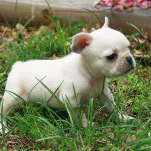 CUTIE F.R.E.N.C.H B.U.L.L.D.O.G Puppies: contact us at (469) 629-2611