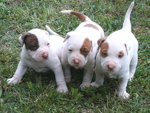 Affectionate M/F American P.I.T B.u.l.l. Puppies!!!(469) 629-2611