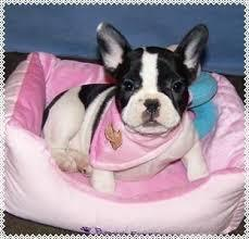 Free Home Trianed French Bull Puppies@@11