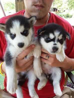 We have free beautiful and Cute S.I.B.E.R.I.A.N H.U.S.K.Y Puppies(804) 322-3875