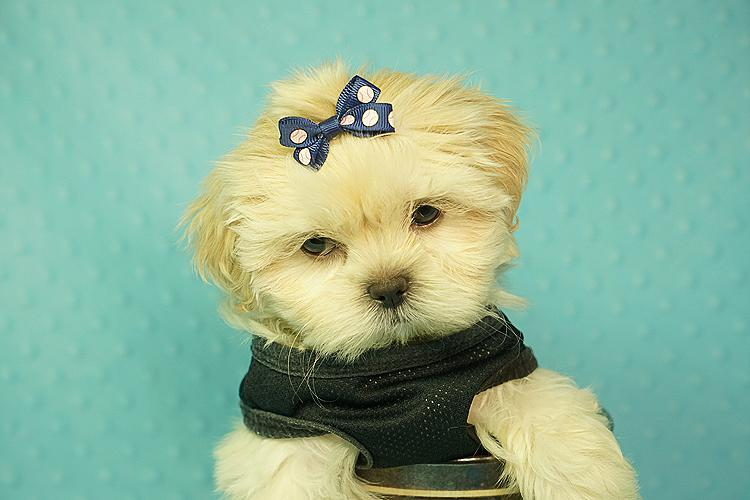 Pennysaver Tiny Teacup And Toy Puppies For Sale Yorkie Maltese