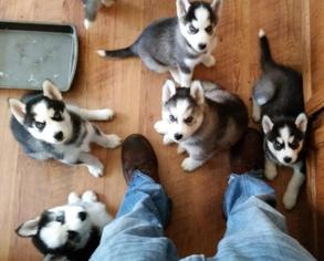 CUTE S.I.B.E.R.I.A.N H.U.S.K.Y Pups**(302)5853641 ***