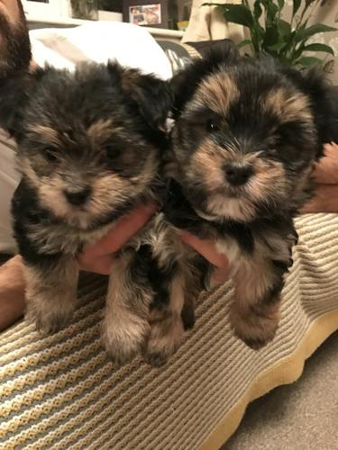 Healthy Teacup Yorkie Puppies Available 513 275 5645