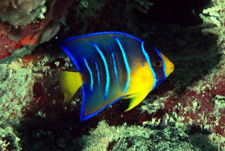 Angelfish (prooven pair)