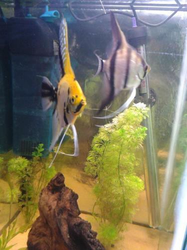 many Angelfish (prooven pair)