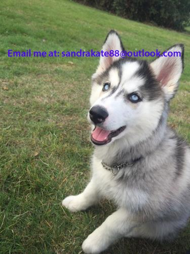3 month old Siberian husky