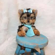 FREE Cute Y.O.R.K.I.E Puppie.s (443) 488-6584